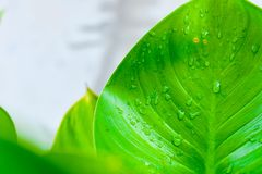 Water drop on green leav.  Stock Photography
