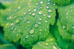 Water drop on green leaves Stock Photography