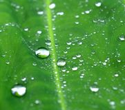Water drop on green leaves Royalty Free Stock Photography