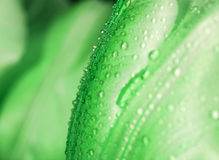 Water drop on green petals. Stock Images