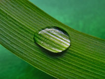 Water drop on green striped leaf. Macro Royalty Free Stock Photo
