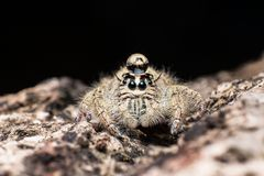 Water drop on head jumping spider Hyllus on a dry bark Royalty Free Stock Photos