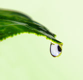 Water drop on a leaf. Close-up drop on the tip of green leaf Royalty Free Stock Images
