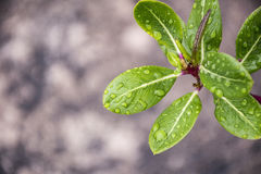 Water drop from leaf background. Stock Image