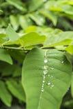 Water drop on leaf. In the rainy season Stock Photos