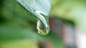 Water drop from the leave after the rain Stock Photos