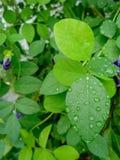 Water drop on leaves. Water drop leaves natural rain stock image