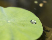 Water Drop On A Lily Pad Royalty Free Stock Photography