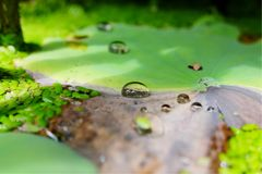 Water drop on lotus green leaf. In pond Stock Image