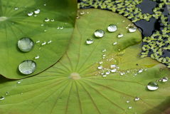 Water Drop on Lotus Leaf Royalty Free Stock Photography