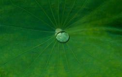 Water Drop on Lotus Leaf Stock Image