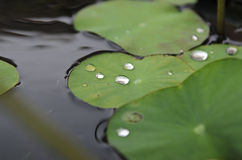 Water drop on the lotus leaf. Water drop on lotus leaf floating in the pond Stock Image
