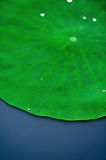 Water drop on lotus leaf Stock Image