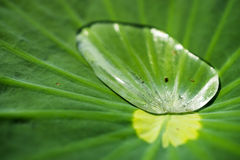 Water drop on lotus leaves Stock Image