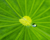 Water drop on lotus leaves Royalty Free Stock Photography