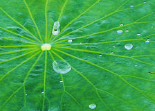 Water drop on lotus leaves Stock Photography
