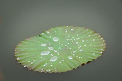 Water  drop  on  louts  leafs. Stock Image