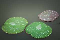 Water  drop  on  louts  leafs. Royalty Free Stock Images