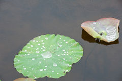 Water  drop  on  louts  leafs. Royalty Free Stock Image