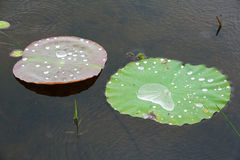 Water  drop  on  louts  leafs. Stock Photos