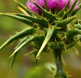 Water drop on milk thistle. Water drop hanging from the thorn of a milk thistle silybum marianum in full bloom Stock Image