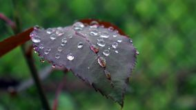 Water drop in morning on leaf with sun light,vintage dark tone royalty free stock photography