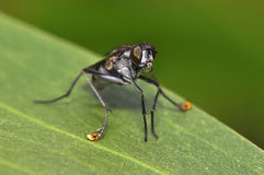 Water drop in mouth by Long-legged Fly or Dolichopodidae, Diptera Royalty Free Stock Photos