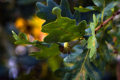Water drop on oak leaf. In early autumn stock photography