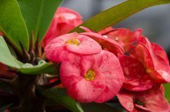 Water Drop On Euphorbia Milli Flower Royalty Free Stock Images
