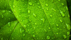 Water Drop On Green Leaf Royalty Free Stock Photo