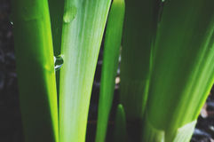 Water Drop on Onion Leaves Royalty Free Stock Photos