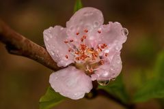 Water Drop on Peach Flower stock images