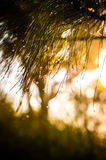 Water drop on pine leaves and sun light Royalty Free Stock Images
