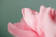 Water Drop on Pink Carnation Royalty Free Stock Photos