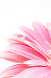 Water drop on pink daisy. Focus on water drop, daisy on white Stock Images