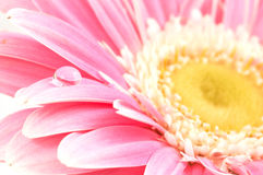 Water drop on pink daisy stock photo