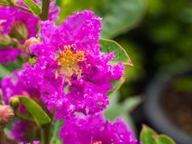 Water Drop on Purple Crape Myrtle Flower. In The Rainy Season Stock Images