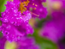 Water Drop on Purple Crape Myrtle Flower. In The Rainy Season Stock Image