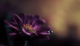 Water Drop on Purple Flower Royalty Free Stock Photo