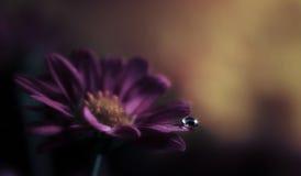 Water Drop on Purple Flower. A shiny water drop on a Purple flower petal Royalty Free Stock Photo