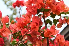 Water drop on the Red Bougainvillea flowers. In the garden after rain Stock Photos