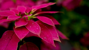 Water  drop on red leaves flower. - (Selective focus) Royalty Free Stock Image