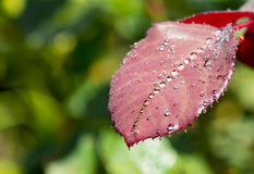 Water drop on red rose leaf after rain Royalty Free Stock Images