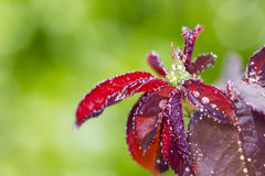 Water drop on red rose leaf after rain Stock Photography