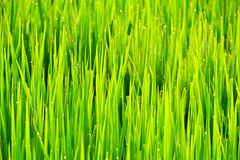 Water drop on rice field in the morning Stock Photography