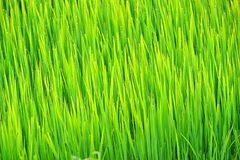 Water drop on rice field in the morning Stock Image