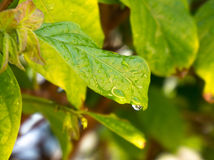 Water drop sliding off a green leaf Stock Image