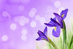 Water drop on spring iris flowers. Water drop on spring iris flowers on purple background Stock Photo