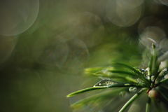Water drop on spruce tree needles. Close up photo with bokeh background Royalty Free Stock Photos