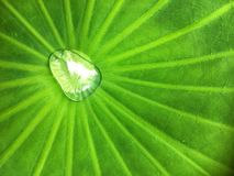 Water drop and stow on colocasia esculenta big green leaf texture background royalty free stock images